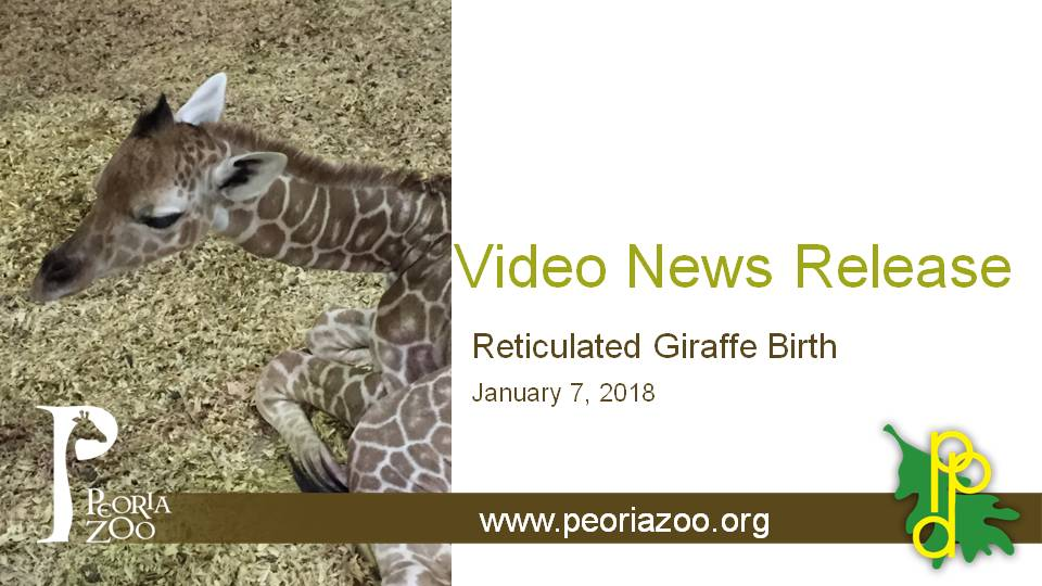 giraffe birth video news Release Screen 3