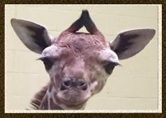 giraffecalfbupdatebutton