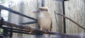 18kookaburra