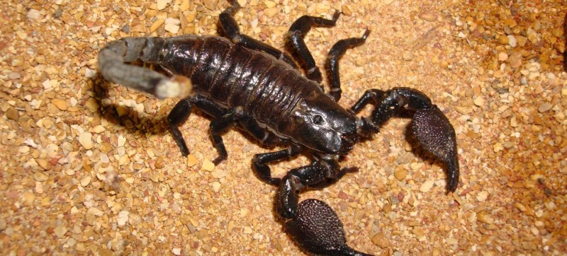 32emperorscorpion