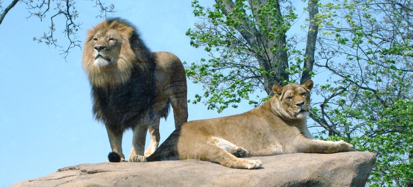 Peoria Zoo African Lion Peoria Zoo
