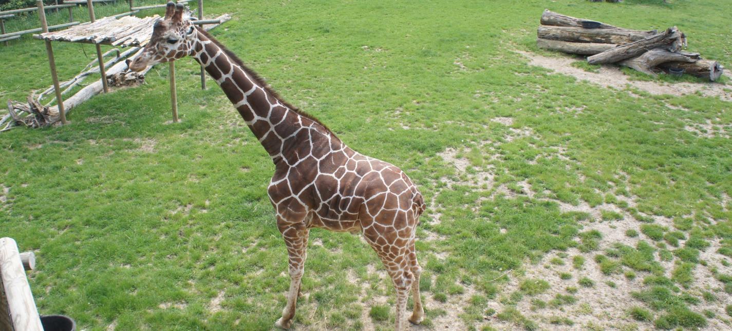 peoria zoo giraffe peoria zoo