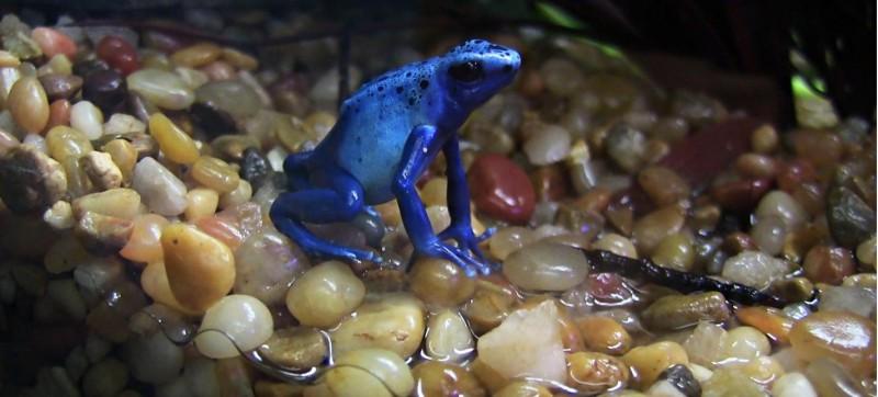 Peoria Zoo Blue Poison Dart Frog Peoria Zoo