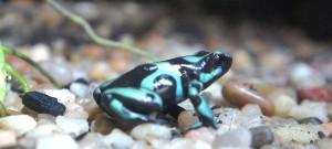 85greenandblackdartfrog