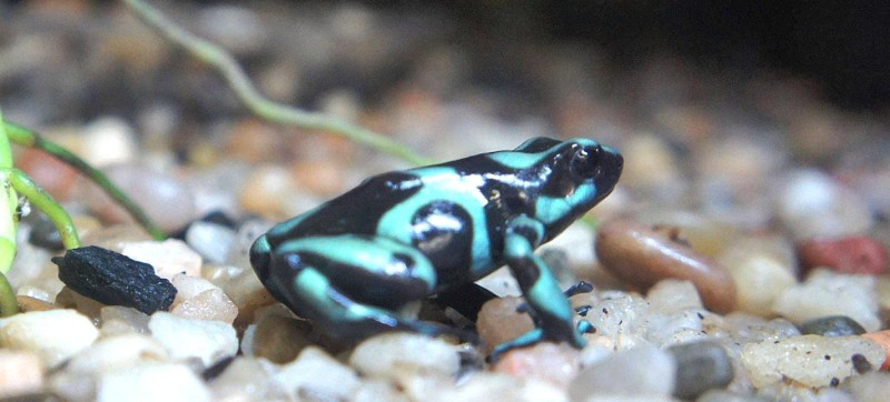 Peoria Zoo Green And Black Poison Dart Frog Peoria Zoo