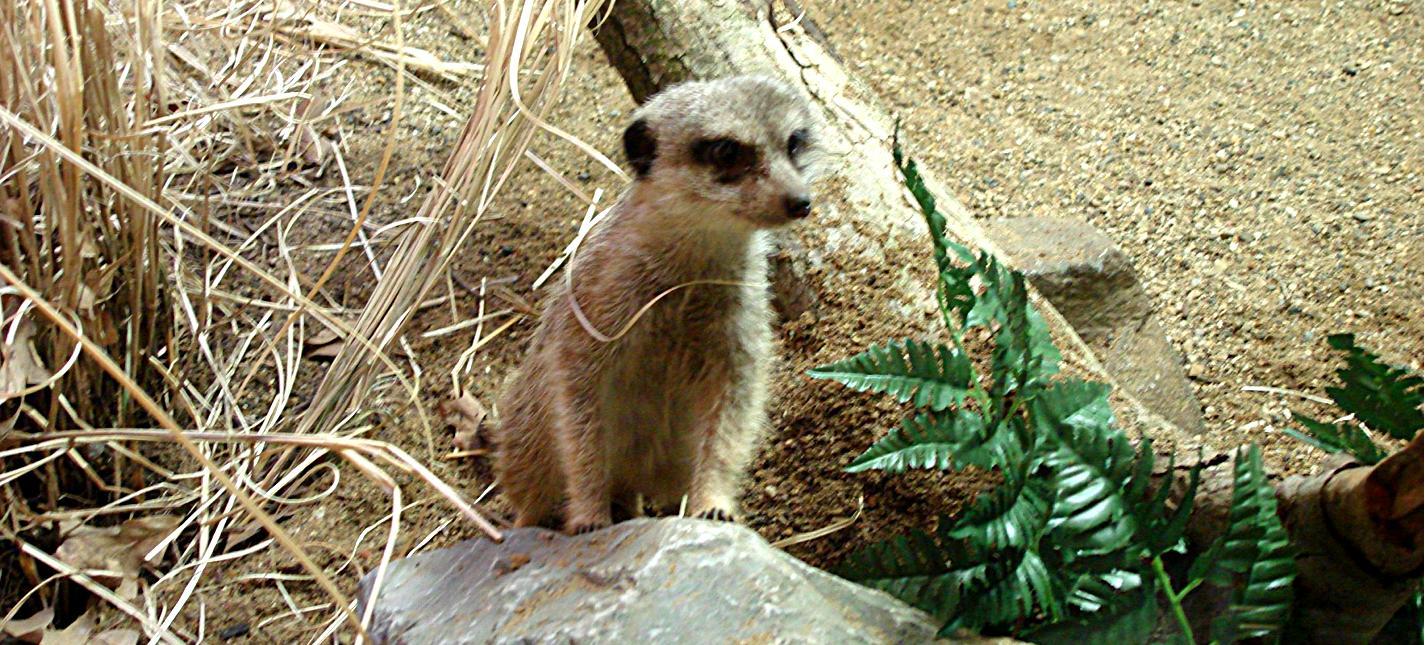 Peoria Zoo Slender Tailed Meerkat Peoria Zoo