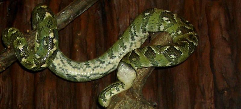 Peoria Zoo Madagascar Tree Boa Peoria Zoo