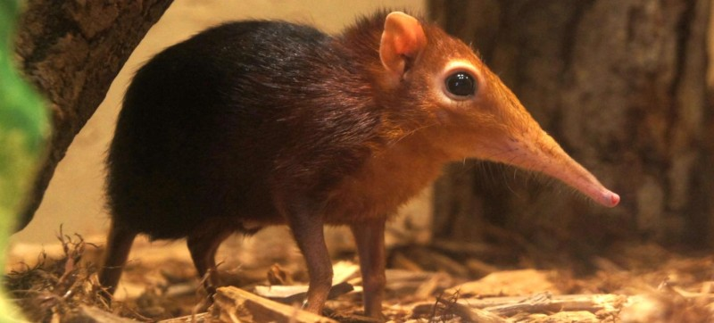 Peoria Zoo Black And Rufous Elephant Shrew Peoria Zoo