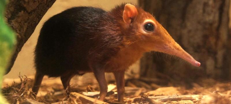 97blkandrufouselephantshrew