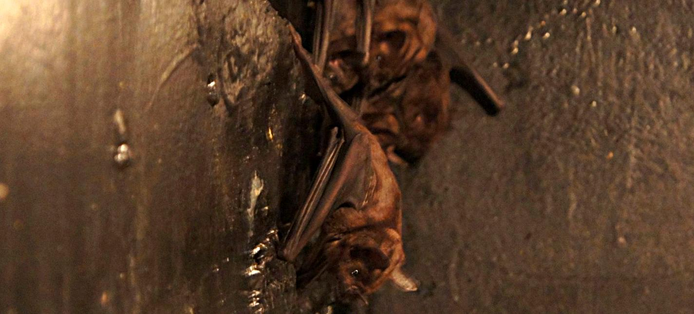 Greater spear nosed bat