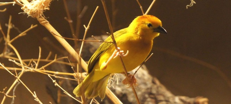Taveta Golden Weavers