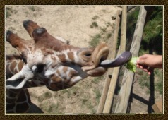 giraffe_feeding_sm
