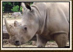 rhino zebra