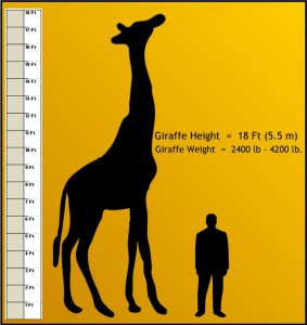 peoria zoo giraffe weight and measure peoria zoo
