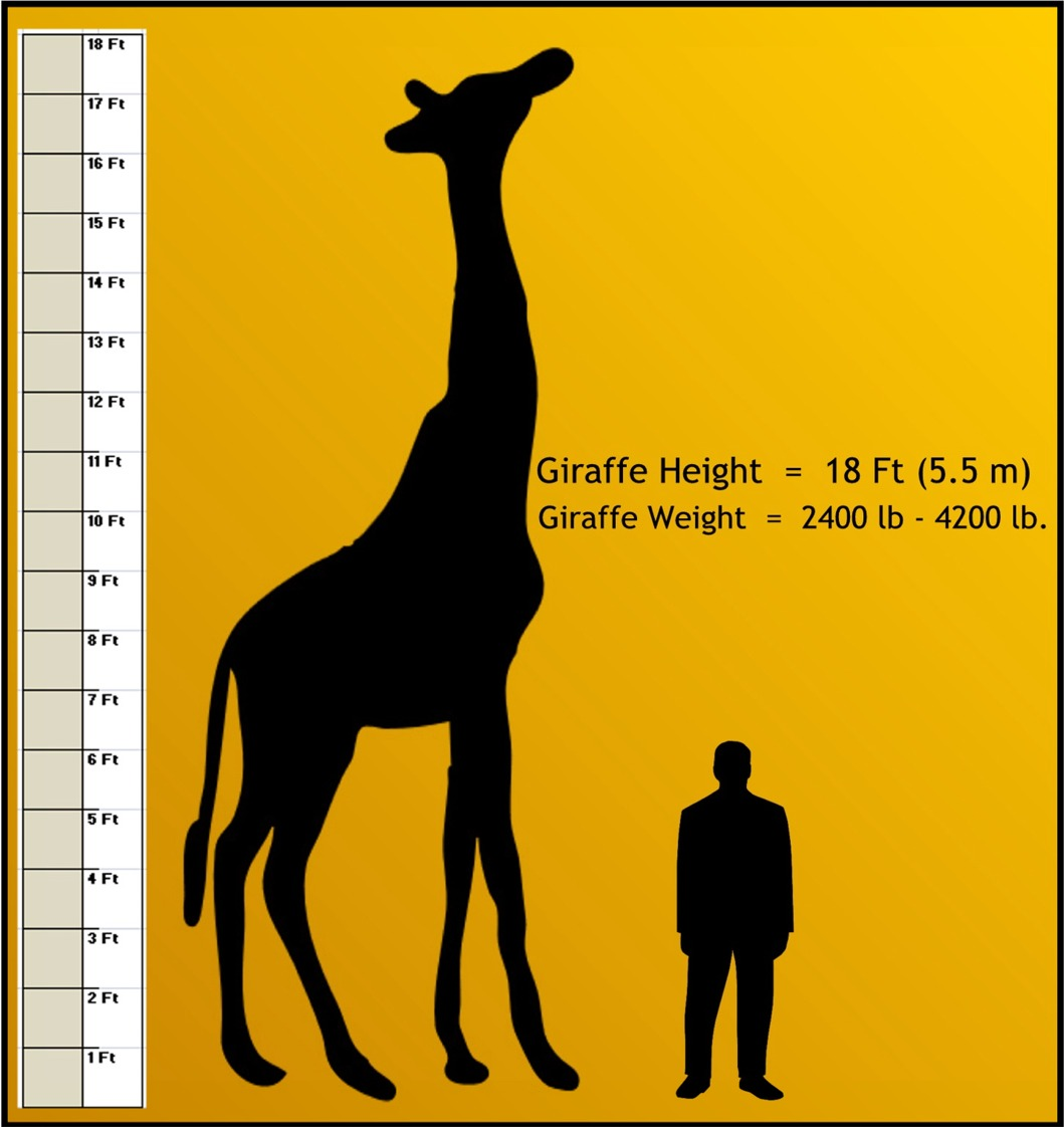 giraffe weight and measure