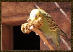 budgiefeed